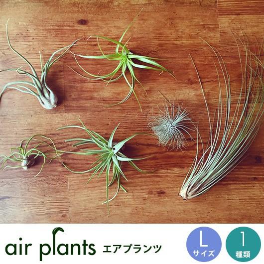 エアプランツ 観葉植物 【選べるLサイズ1種】 フ...