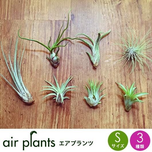 エアプランツ 観葉植物 【選べるSサイズ3種】 イ...