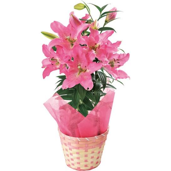 【5/14は母の日】オリエンタル百合鉢植え H-5
