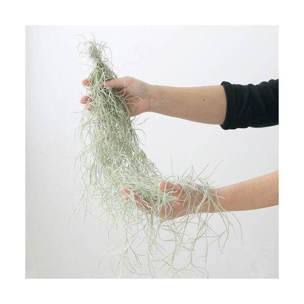 (観葉植物)エアープランツ ティランジア ウスネオイデス 太葉タイプ Lサイズ(1束分)