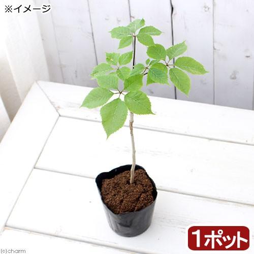 (山野草/盆栽/庭木)山菜 コシアブラ(漉油)...