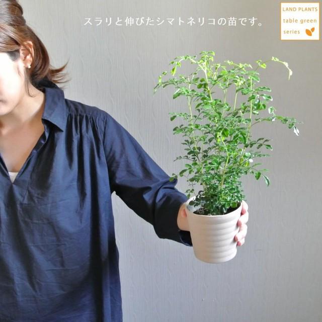 【 観葉植物 】 スラリと伸びた シマトネリコ苗...
