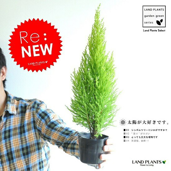 Re:new!! H約35cm 苗木 ゴールドクレスト 3...