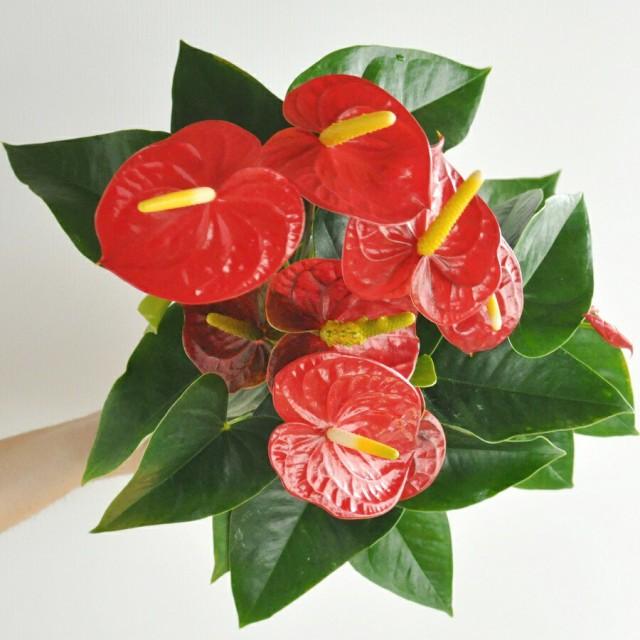 【 観葉植物 】 アンスリューム真赤な花付き観葉...