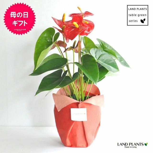 【 観葉植物 】 フラワーギフト 大人気 アンス...