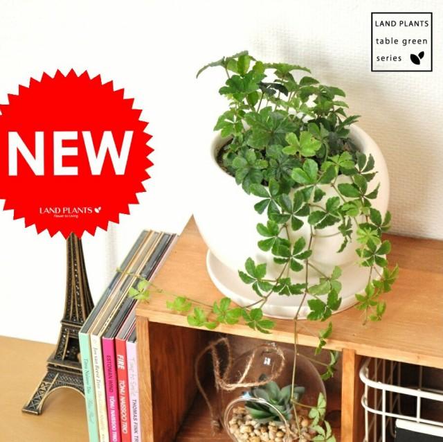new!! シュガーバイン 白色丸型陶器に植えた 5...