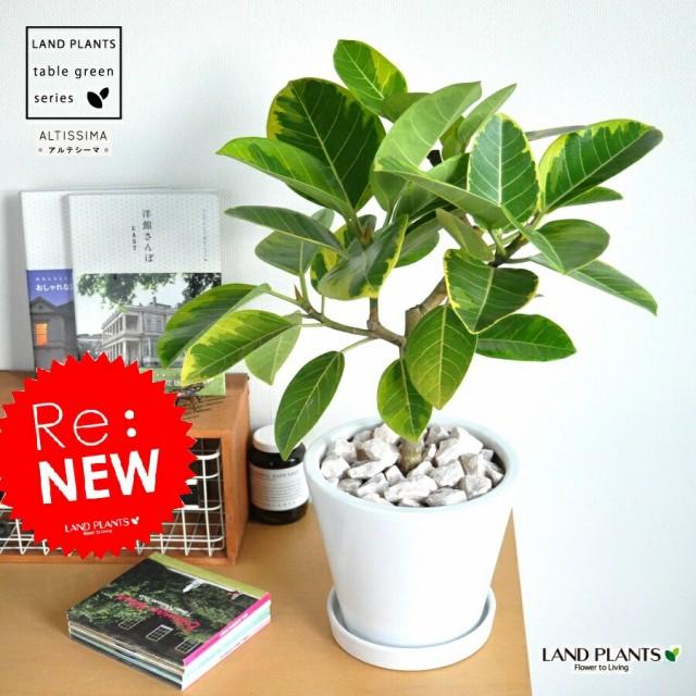 new!! フィカス・アルテシーマ白色デザイン陶器鉢...