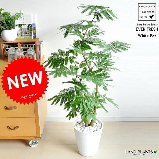 new!! エバーフレッシュ 白セラアート鉢に植え...