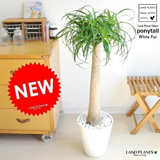 new!! トックリラン「ノリナ」 白セラアート鉢...