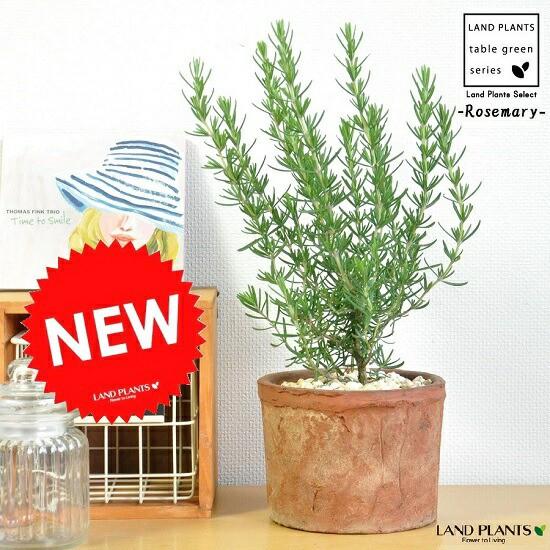 new!! ローズマリー   モスポット鉢に植えた 料...