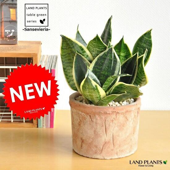 new!! 空気清浄の木 サンスベリアモスポット鉢...
