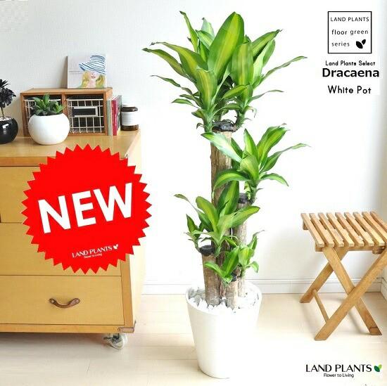 new!! 幸福の木 マッサンゲアナ 白セラアート鉢に植えた ドラセナマッサン 祝い花 ドラセナ・マッサン・ゲアナ(Massangeana)