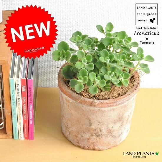 new!! 香り豊かな多肉植物 アロマティカス モ...