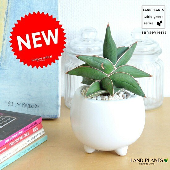 New!! サンスベリア × 足付丸型小鉢に植えた...