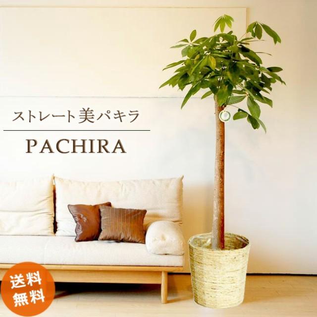パキラ10号ストレート(朴)【鉢カバーC 受け皿付】170-180cmが仕立てお値打ち♪【観葉植物】