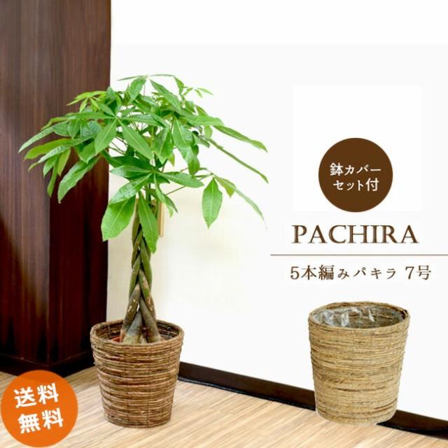 パキラ7号【A級品 自然素材な鉢カバーA♪ 】人...