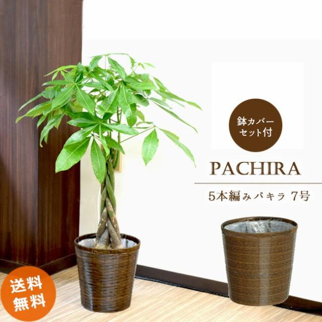パキラ7号【A級品 自然素材な鉢カバーN♪ 】人...