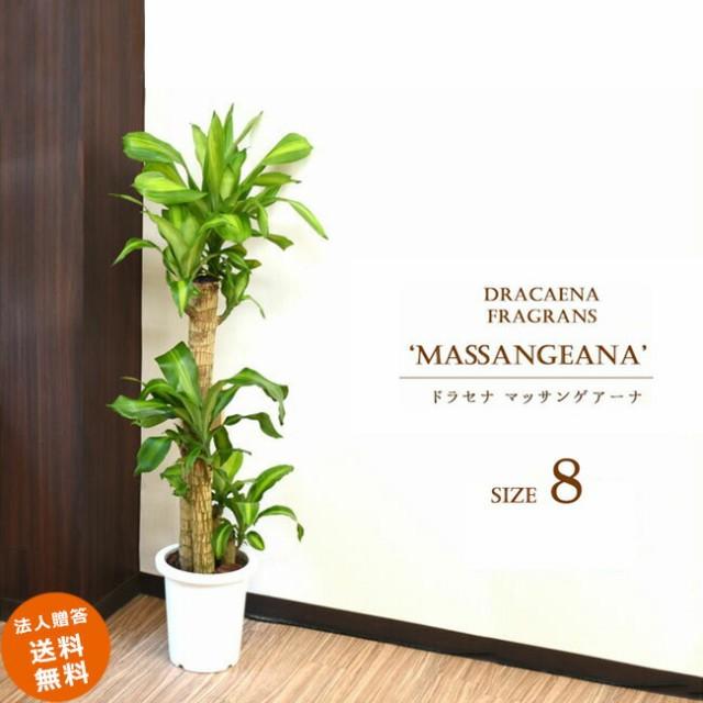 【装飾プレゼント】中型8号 別名「幸福の木」マッ...