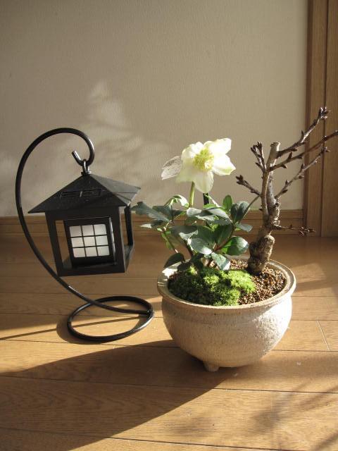 【幸せの白い花】 【幸せギフト】盆栽:桜と クリ...