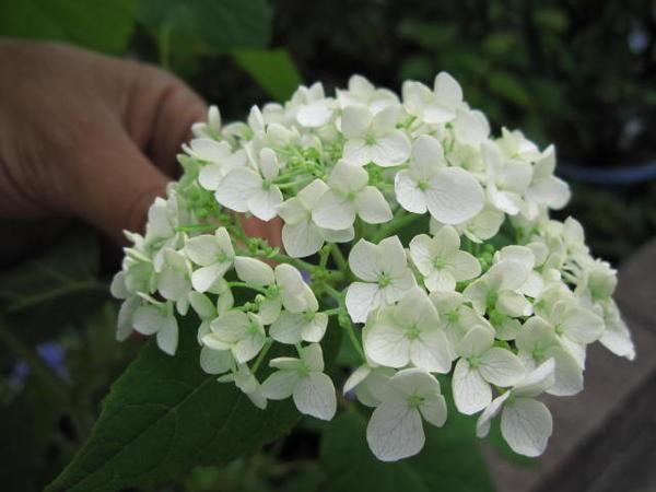 アナベル紫陽花母の日に白い紫陽花 開花は六月頃...
