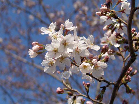 桜鉢植え【鉢植】 【桜】 日本の名花 染井吉野 ...