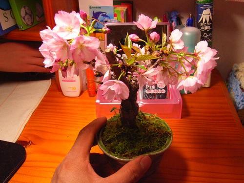 盆栽 桜 旭山   八重のピンクの桜が 楽しめます...
