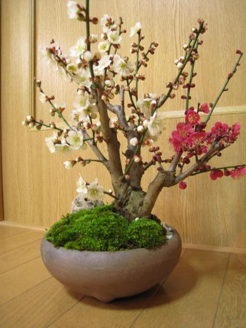 梅盆栽 【盆栽】信楽焼き入り紅白梅盆栽