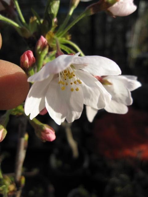染井吉野桜の 鉢植え 開花は 2018春 四月頃 ...
