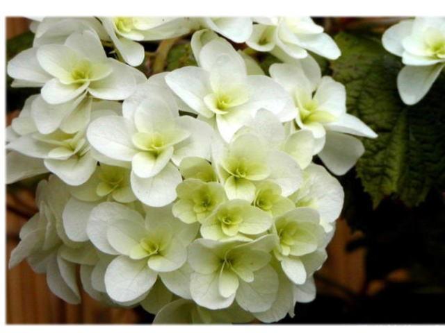 山アジサイ 【紫陽花の苗】八重柏葉アジサイ