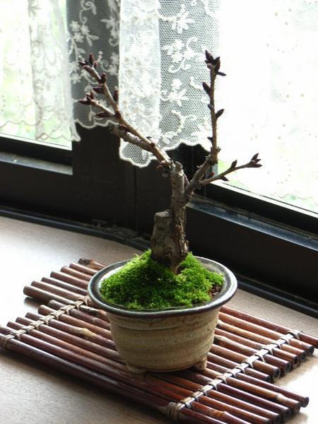 ミニ桜盆栽 小さくても お花が咲きます【桜盆栽...
