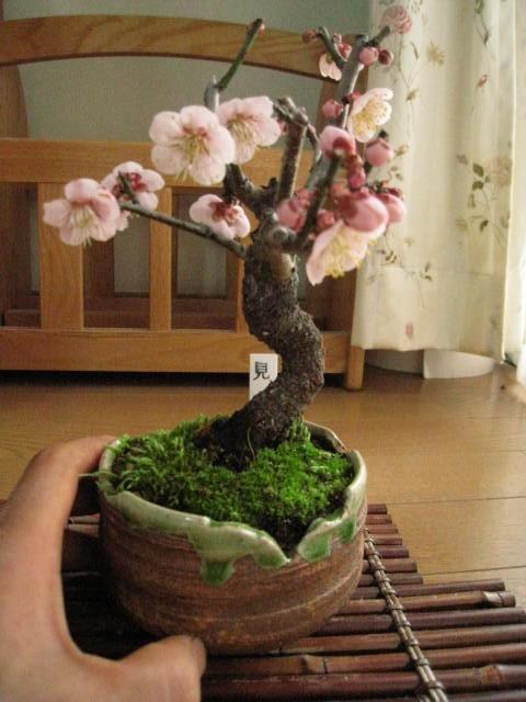 梅盆栽 【盆栽】信楽焼き入り見驚梅ミニ梅の盆栽