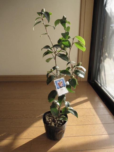 【庭木】 【ツバキ】古典椿 椿  玉の浦