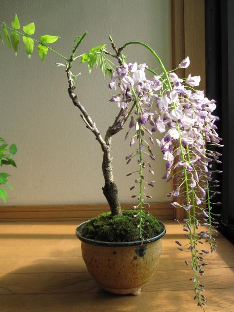 藤盆栽 贈り物に 和物盆栽  可憐に咲く藤    ...