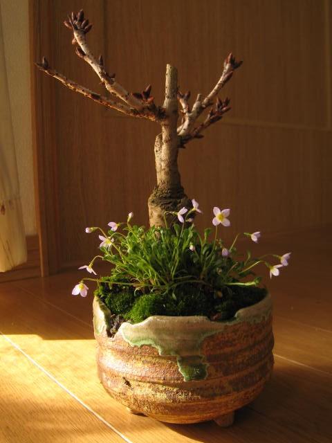 盆栽:ヒナ桜盆栽 桜盆栽