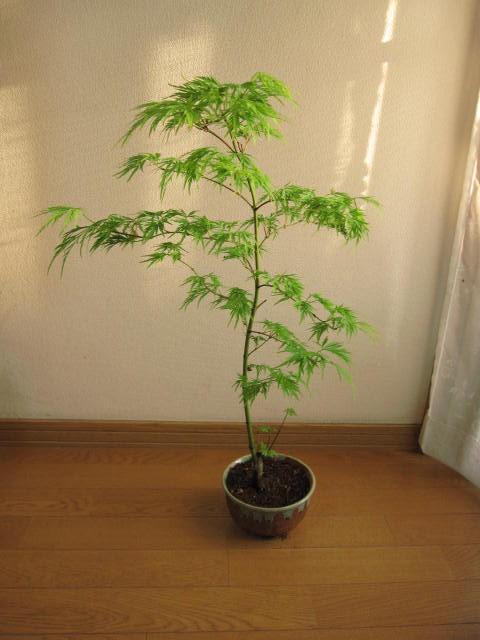 盆栽【青しだれもみじ】 【盆栽】  ギフト