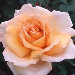 【バラ】【バラ苗】 花音