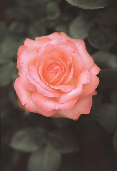 【バラ】【バラ苗】  ピンク パンサー