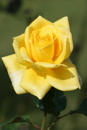【バラ】【鉢植え】かぐや姫 【送料無料】