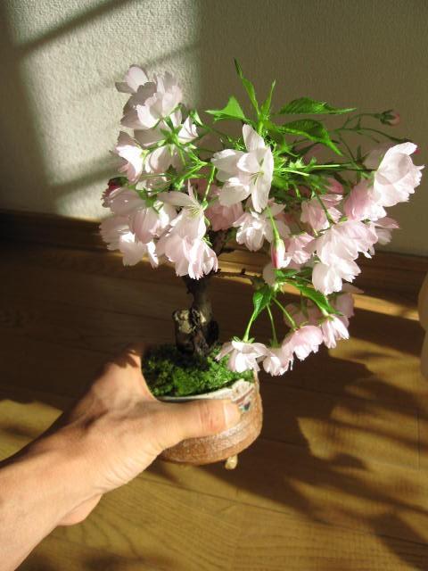 盆栽:桜 さくら盆栽 桜盆栽  自宅でもお花見が...