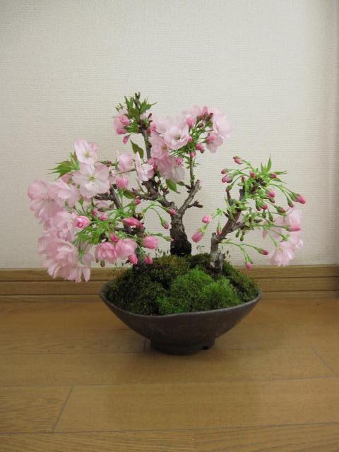 盆栽:桜桜桜盆栽桜盆栽信楽鉢入り 送料無料