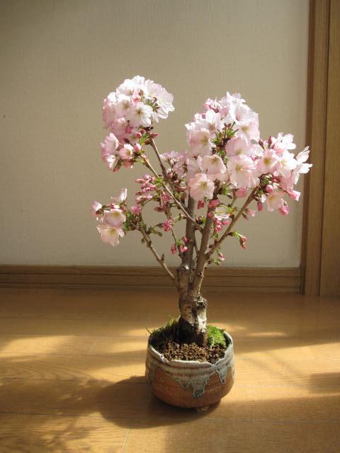 2018年のプレゼントに御殿場桜 鉢植え 開花は4...