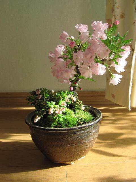 2018年4月に開花お祝いのプレゼントに【盆栽】桜...