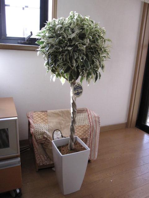 リビングに置く観葉植物 ベンジャミン   新築...