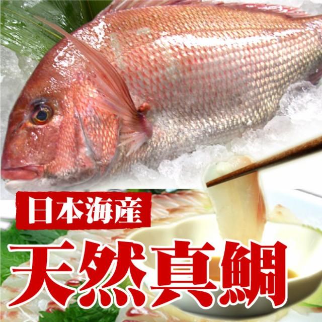 【日本海産】天然真鯛(1尾 1kg)/鮮魚/刺身/