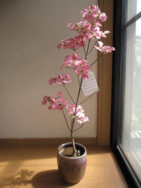 【鉢花】花水木シンボルツリー 【鉢植え】 ハナ...
