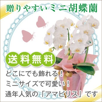 ミニ胡蝶蘭 白 アマビリス2本立【送料無料】