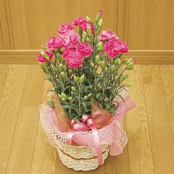 Pinkカーネーション花鉢【2017母の日特集】【おま...