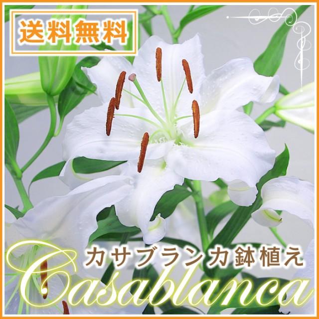 母の日限定 産地直送 カサブランカの鉢花 3本立 7...