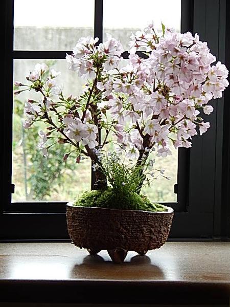 2018年4月頃に咲く桜盆栽自宅でお花見 プレゼン...