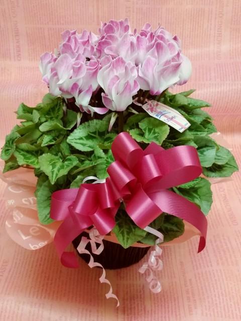 シクラメン白地ピンク【かご付き】【冬のギフト】...
